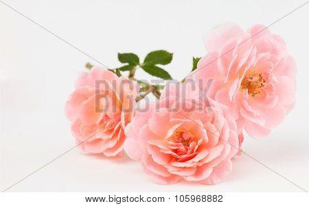 Pink garden roses cluster