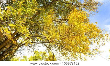 Yellow Boughs of Wild Cherry Tree Autumn or Fall Leaf Foliage.