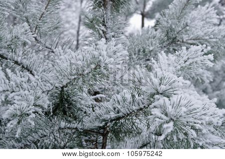 Spruce branches in snow frost