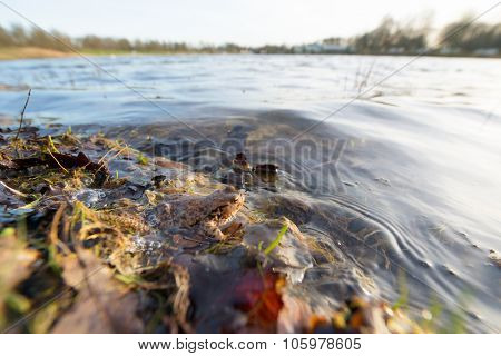 Common toad in nature water