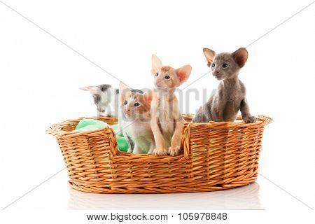 Nest Little Siamese kittens sitting in big basket