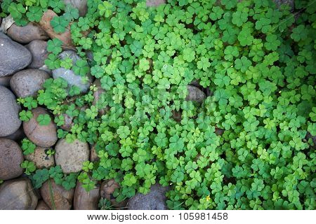 Clovers and color rocks