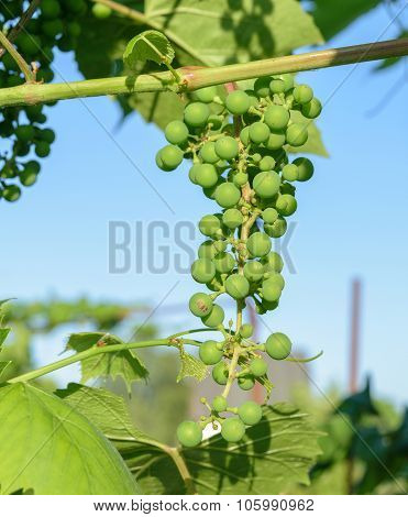 Bunch Of Unripe Green Grapes Hanging From The Vines