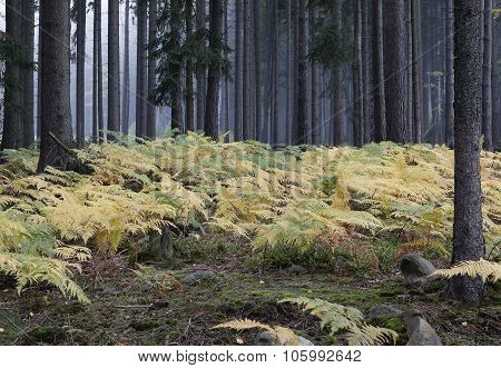 Fog In The Forest With Ferns