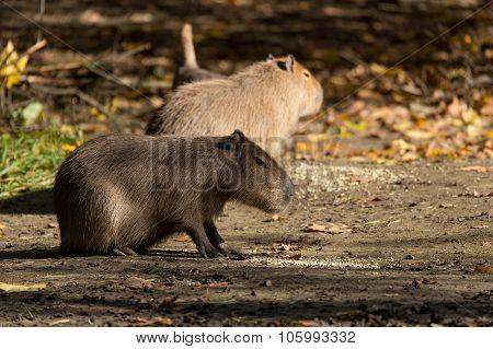 Close Up Photo Of Capybara