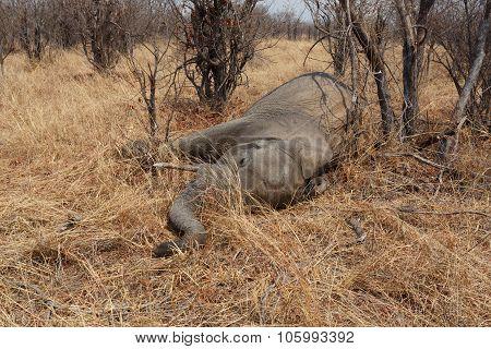 Small Dead Elephant In National Park Hwankee, Botswana