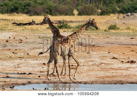 Giraffa Camelopardalis Drinking In National Park, Hwankee