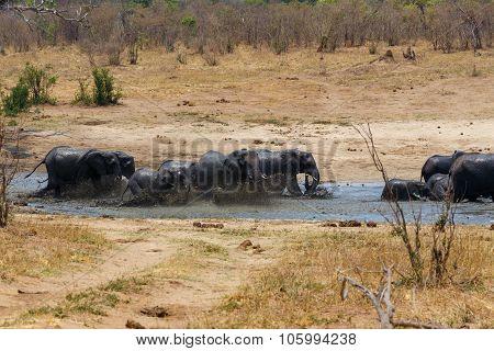 African Elephants Bathing At A Muddy Waterhole