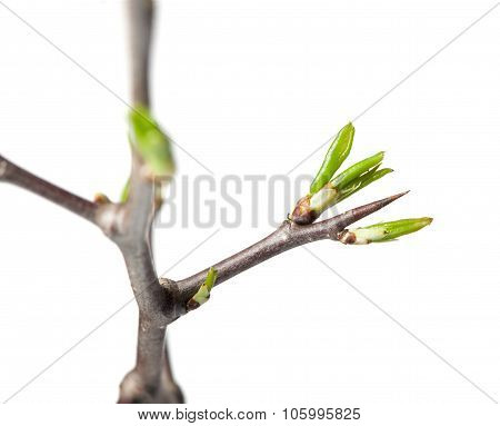 Thorn And Buds