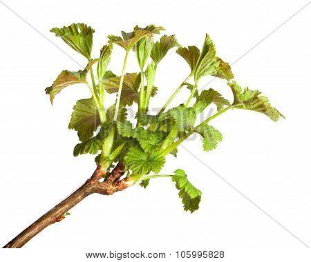 Growing Blackcurrant Brunch