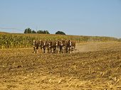 picture of horse plowing  - Amish Farmer plowing the field with 7 horses - JPG