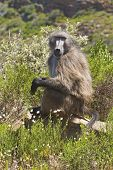 picture of fynbos  - A Chacma baboon  - JPG