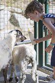 Постер, плакат: Boy Feeding Goats