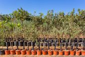 Постер, плакат: Young Saplings Olive Trees The Pots For Reproduction