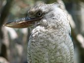 pic of blue winged kookaburra  - cloe up of a blue winged kookaburra - JPG