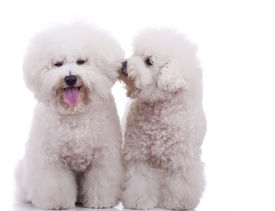picture of bichon frise dog  - two happy bichon frise dogs on a white background  - JPG