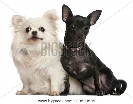 Chihuahuas, 8  years old and 7 months old, sitting in front of white background