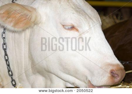 Bovine Beauty