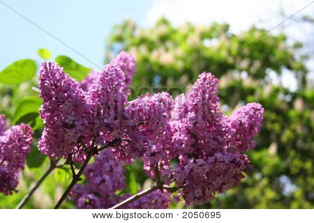 Lilac. Beauty Of The Spring