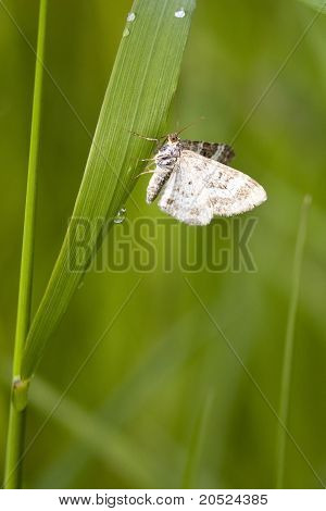 Commom Carpet Moth