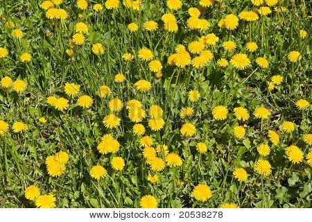 Dandelions on a meadow in spring