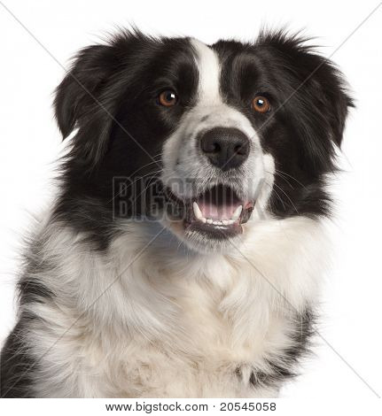 Close-up of Border Collie, 14 months old, in front of white background