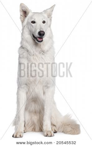Berger Blanc Suisse, 2 years old, sitting in front of white background