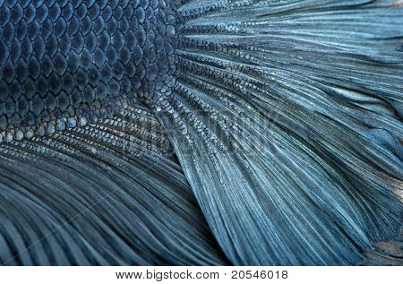 Close-up de Siamese fighting peixe azul, Betta Splendens