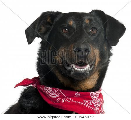 Close-up of Beauceron wearing red handkerchief, 4 years old, in front of white background