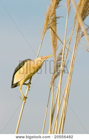 a male of little bittern on the reed