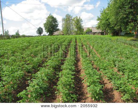 Field Of A Potato