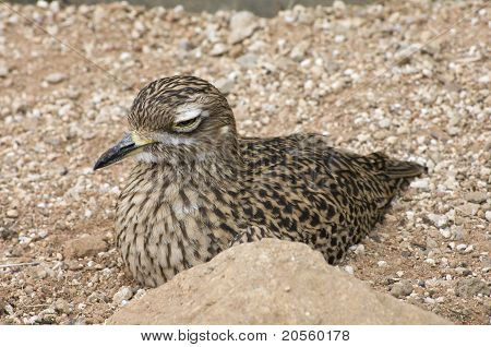 Spotted Dikkop Bird At Rest