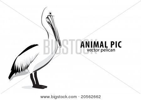 Illustration of a pelican on white