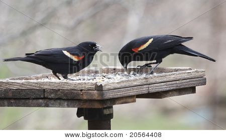 Two Red-winged Blackbirds