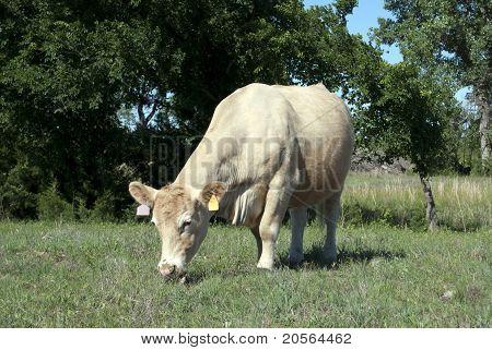 Tan Heifer Grazing