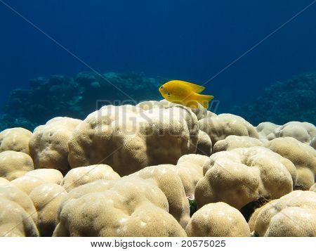 Yellow fish on coral reef