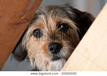 Borkie Dog Peeking Through A Gap