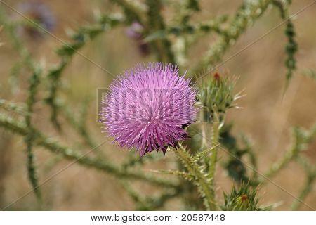 Pink flower of Syrian thistle (Notobasis syriaca)