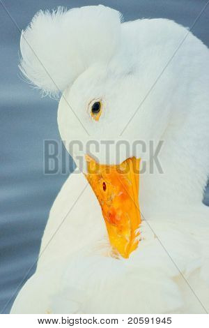 Crested Duck Portrait