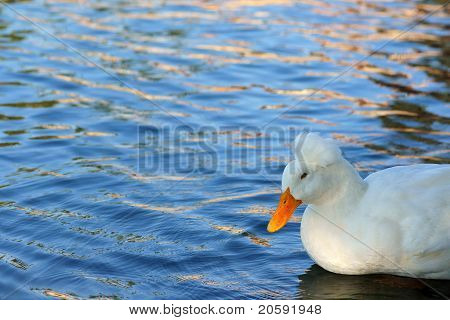 Crested Duck at Pond