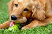 picture of golden retriever puppy  - golden retriever young dog portrait with toy bone - JPG