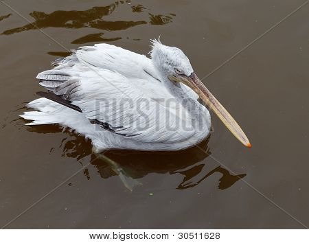 Pelican en el zoológico