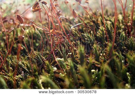 Moss Sporangiums Macro