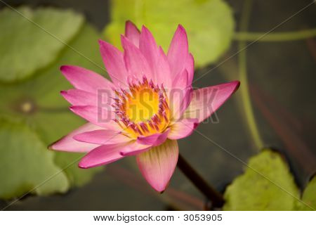 Pink And Yellow Waterlilly