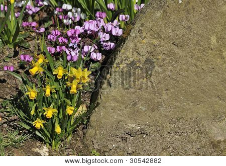 Miniture daffodils with cyclamen