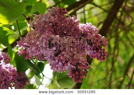 Lilacs In The Spring