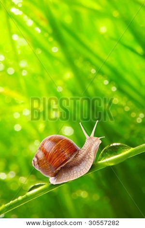 Fresh morning dew on a spring grass and little snail, natural background - close up with shallow DOF.