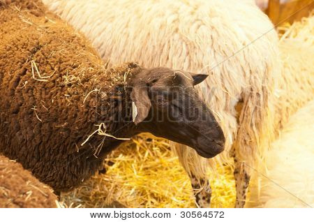 Paris - February 26: Black Sheep At The Paris International Agricultural Show 2012 On February 26, 2