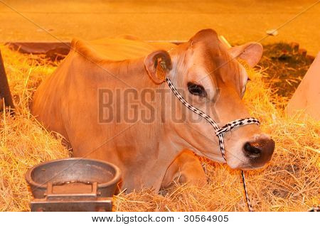 Paris - February 26: Seated Jersiaise Cow At The Paris International Agricultural Show 2012 On Febru