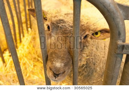 Paris - February 26: Sad Sheep At The Paris International Agricultural Show 2012 On February 26, 201